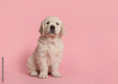 Fotografia Cute golden retriever puppy looking at the camera sitting on a pink background