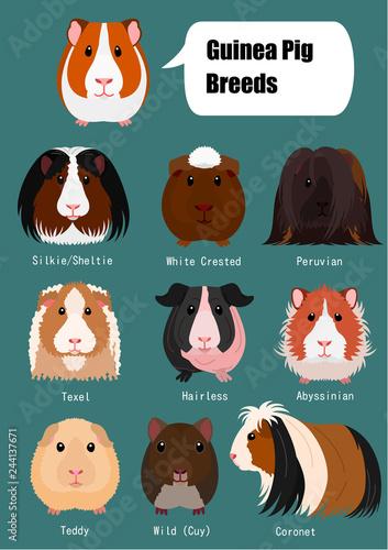 Fotografie, Obraz collection of guinea pig