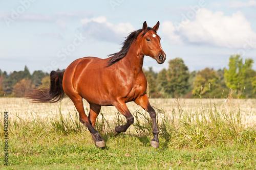 Obraz na plátně Nice brown horse running on the pasture in summer