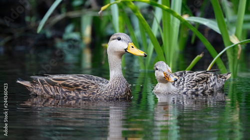 Canvastavla Pair of Mottled Duck on a Florida river