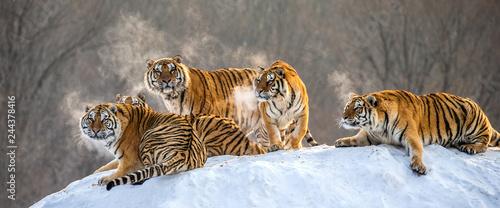 Fototapeta premium Kilka tygrysów syberyjskich na zaśnieżonej wzgórzu na tle drzew zimowych. Chiny. Harbin. Prowincja Mudanjiang. Park Hengdaohezi. Park Tygrysów Syberyjskich. Zimowy. Twardy mróz. (Panthera tgris altaica)