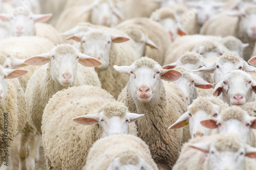 Flock of sheep, sheep farm Fototapeta