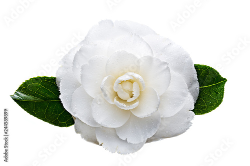 Photographie White camellia flower with dew drops isolated on white background