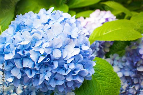 Fotografie, Obraz Beautiful blue hydrangea or hortensia flower close up