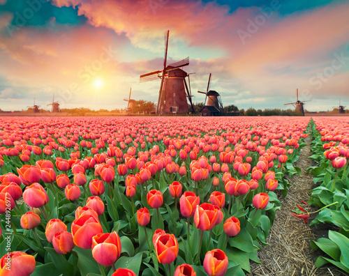 Photo Dramatic spring scene on the tulip farm