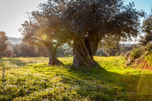Canvas Print old olive trees grove in bright morning  sunlight