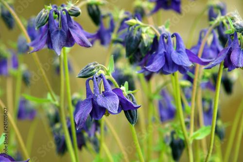 Obraz na płótnie Columbine or Aquilegia vulgaris