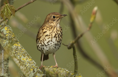 Fototapeta A beautiful Song Thrush (Turdus philomelos) perched on a branch in a tree