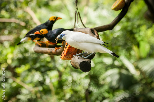 Photo Leucopsar rothschildi exotic white bird on tree branch