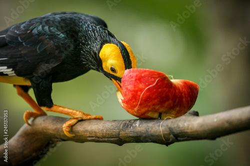 Yellow-faced myna bird in aviary park Fototapete