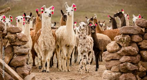 Photo lama herd