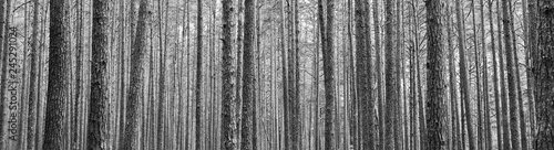 Tree trunks in pine forest as beautiful textured black and white panoramic vi...