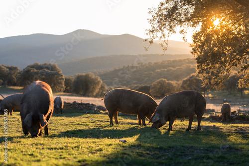 Wallpaper Mural Iberian pigs in the nature eating