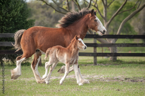 Miniature Clydesdale mare with foal at side Fototapeta