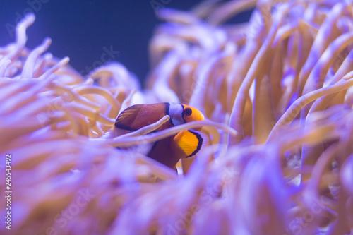 Fotografie, Tablou ocellaris clownfish, clown anemonefish, clownfish, false percula clownfish