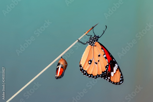 Amazing moment ,Monarch butterfly emerging from its chrysalis Fototapete