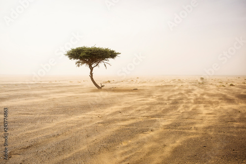 Stampa su Tela Single tree in the middle of desert Sahara with sands storm