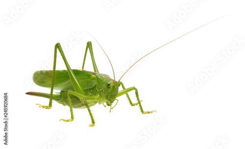 Stampa su Tela Green locust isolated on white