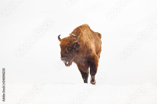 european bison (Bison bonasus) in natural habitat in winter Fototapeta