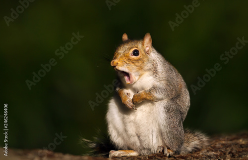 Fototapeta Close up of a grey squirrel yawning