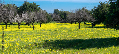 Fotografering almond trees