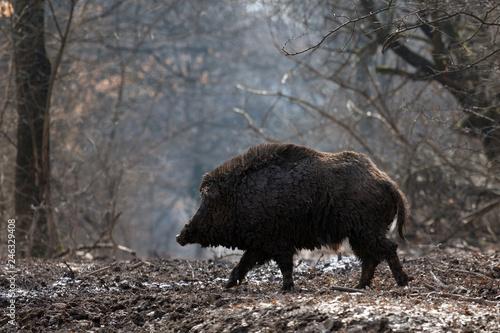 Canvas-taulu wild boar in forest