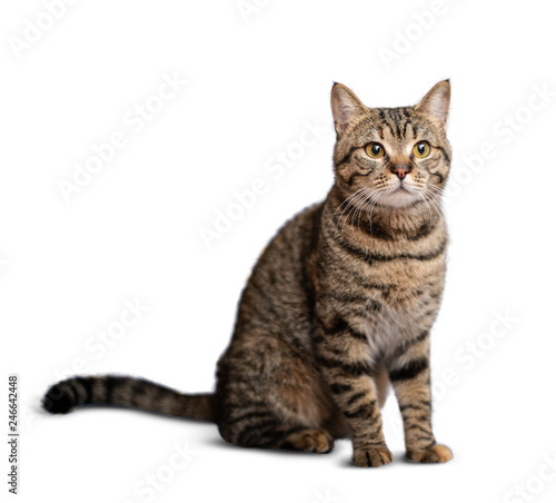 Portrait of beautiful grey cat on white background