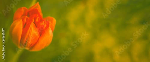 Tulpe vor grün, Panorama, Freiraum