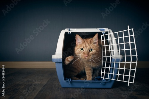 Cute ginger cat looking anxious out of a open travel crate. Fototapeta