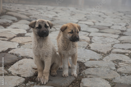 Stampa su Tela cur puppy in foggy day on the stone lane. mist and dog(s)