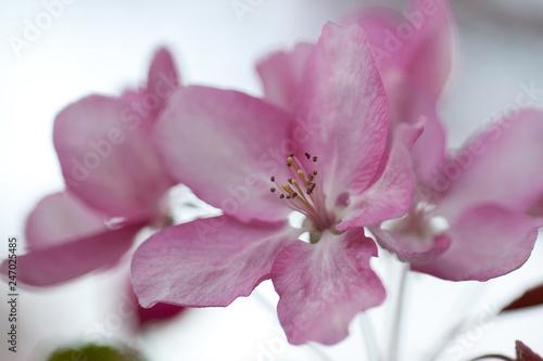 beautiful delicate pink flowers of an sakura blooming in the spring garden