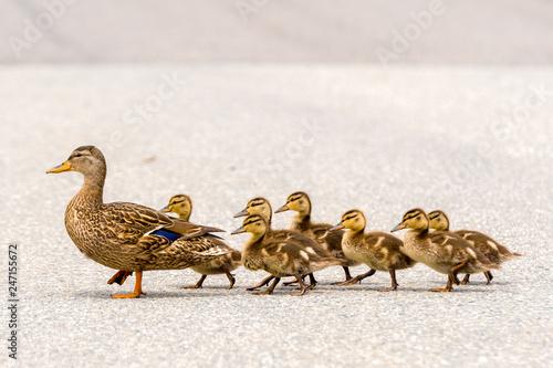 Billede på lærred A mother duck and her ducklings crossing a road in a line