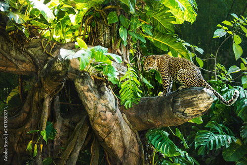 Fotografia Leopard on a branch of a large tree in the wild habitat during the day about sun