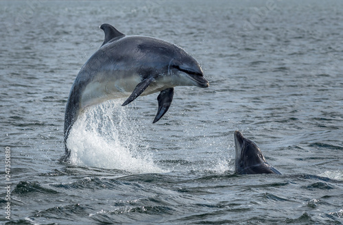 Canvas Print Wild Bottlenose Dolphins Jumping Out Of Ocean Water At The Moray Firth Near Inve