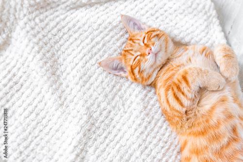 Canvas Print Ginger cat sleeping