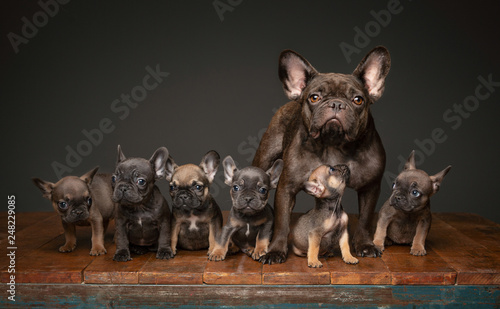 Obraz na plátně Litter of French Bulldog puppies with mom