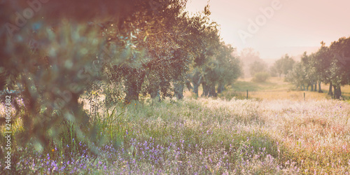 Fotografia Olive trees groves - agriculture food production farm, orchard during spring -  blooming meadows