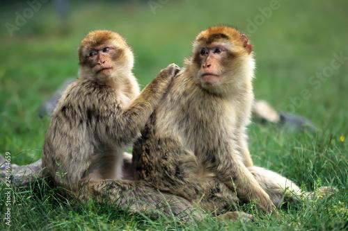 Canvas Print Barbary macaque (Macaca sylvanus),Magot  native to Morocco, Algeria and Gibralta