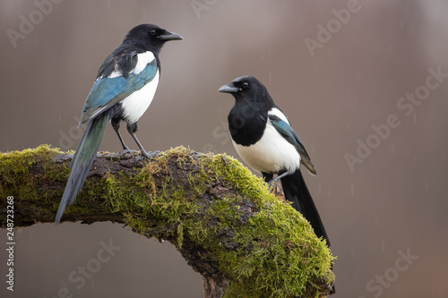 Canvas Print Two Eurasian Magpies, Pica Pica, on moss covered branch in winter