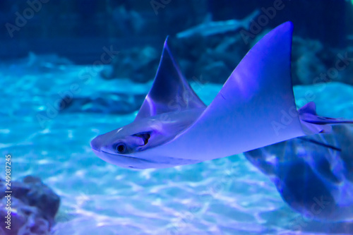 Canvas Print Gray manta ray fish swimming underwater on a light blue background with white sa