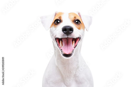 Fotografia Portrait of a funny dog Jack Russell Terrier, closeup, isolated on white backgro