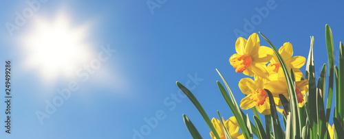 Fotografie, Tablou Frühlingsbanner oder Hintergrund: gelbe Narzissen vor blauem Himmel und strahlen