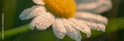 Fényképezés Daisy flower meadow covered with drops of dew in the early morning