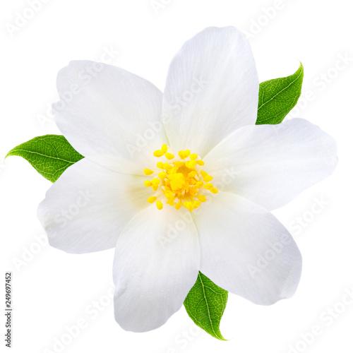 Obraz na płótnie Jasmine flower with leaves isolated on white background