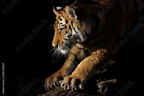 Obraz na plátně Tiger sharpens claws at sunset