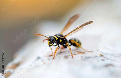Fényképezés wasp or yellow jacket
