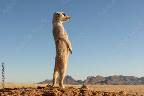 Fotografia suricate upright on outlook, very watchful