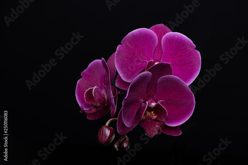 Wallpaper Mural Purple orchid on black background