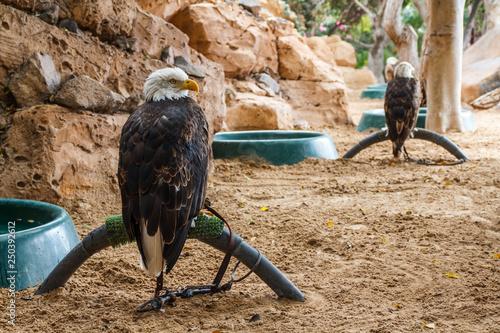 Valokuvatapetti Locked Bald eagle in zoo.  Bald eagle in captivity