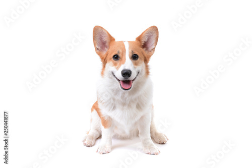 Canvas Print pembroke welsh corgi puppy dog